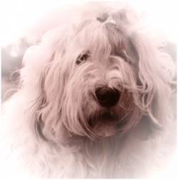 Geschichte Old English Sheepdog